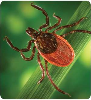 color photo of tick species known to carry lyme disease.