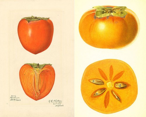 Left: Japanese persimmon (variety Hachiya) - watercolor 1887 drawn by Amanda A. Newton. Right: Fuyu persimmon by artist R.G. Steadman