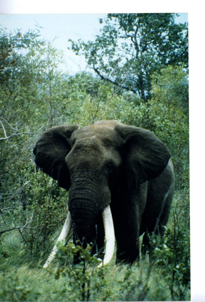 large bull elephant surrounded by greenery facing the camera.
