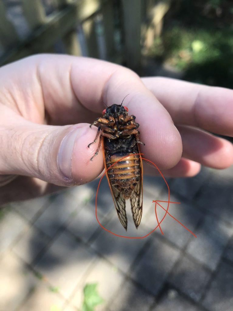 Male cicada.