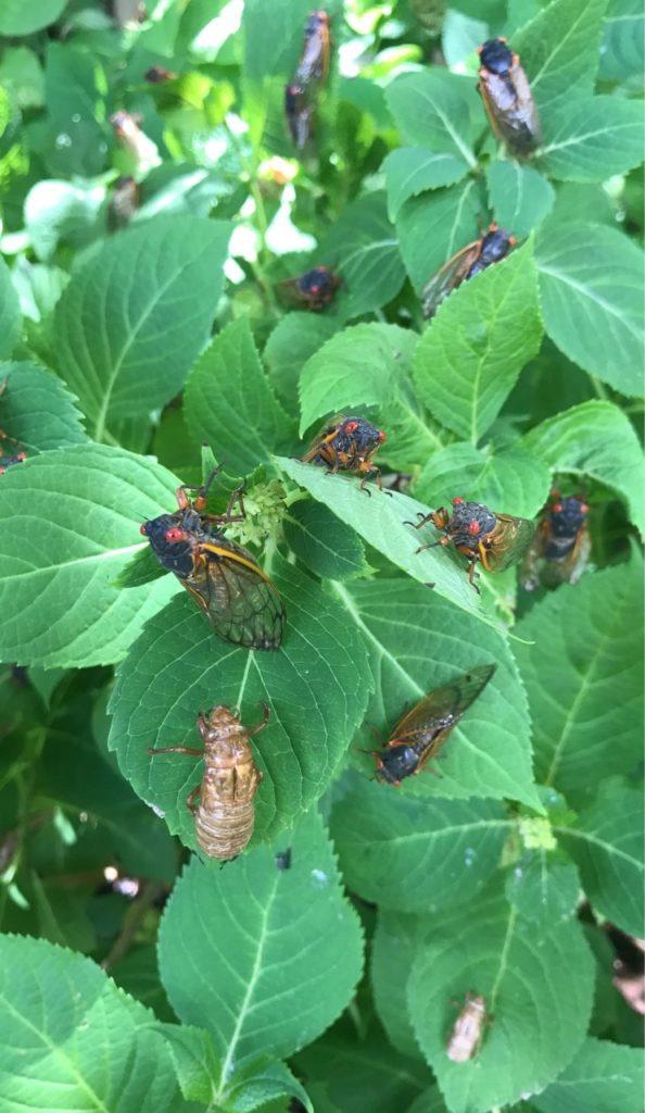 Hydrangea bush full of cicadas